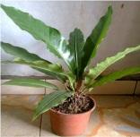 Anthurium untuk exclusive decoration plant