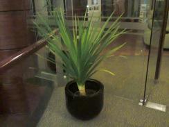 Menghiasi ruang perkantoran dengan tanaman pandan bali